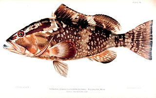 Red grouper species of fish