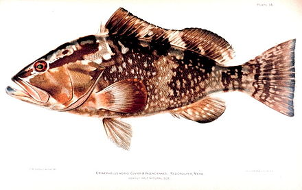 Two banded grouper dating