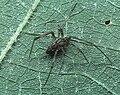 Episinus.affinis.male.-.tanikawa.jpg