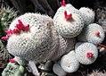 Epithelantha micromeris 2.jpg