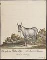 Equus asinus - 1700-1880 - Print - Iconographia Zoologica - Special Collections University of Amsterdam - UBA01 IZ21700069.tif