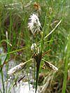 Eriophorum angustifolium detail.jpeg