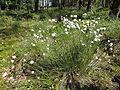 Eriophorum vaginatum kz2.JPG