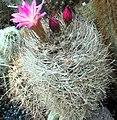 Eriosyce nidus.jpg
