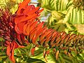 Erythrina spec 1 Cuba.jpg