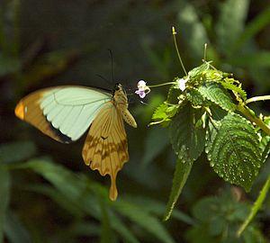 Ethiopian Butterfly (2377703189)