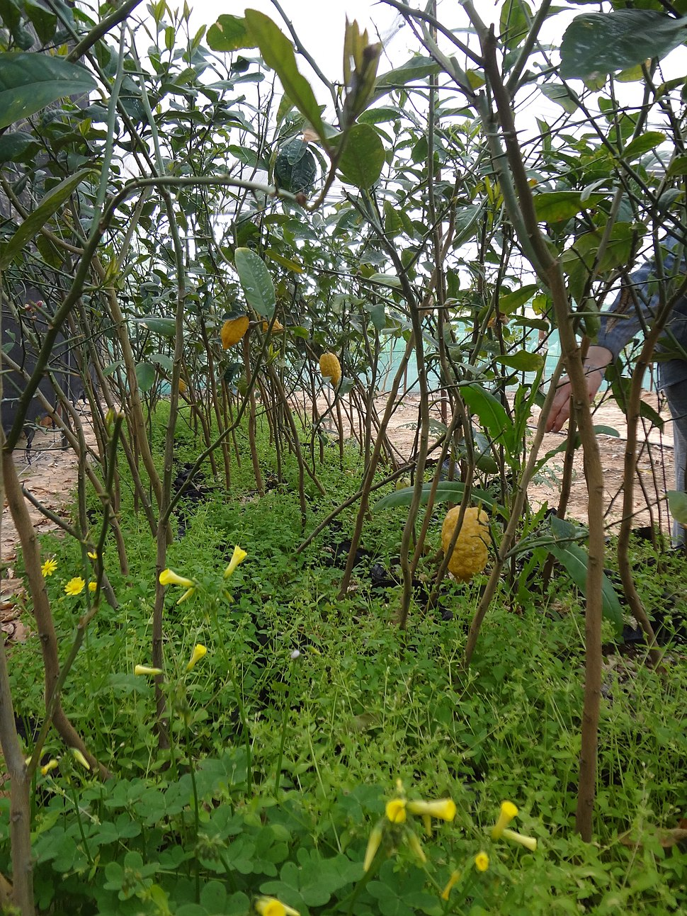 Etrog plants at kfar chabad with growing etrogs