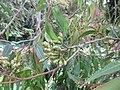 Eucalyptus - യൂക്കാലിപ്റ്റസ് 07.jpg