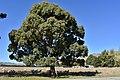 Eucalyptus crebra - Muggago, Narrow-Leaved Ironbark.jpg
