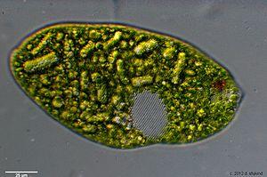 Euglena - Spiral pellicle strips