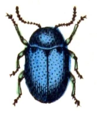 Eumolpinae - Eumolpus asclepiadeus