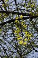 Euonymus alatus branch.JPG