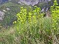 Euphorbia amygdaloides4.JPG
