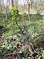 Euphorbia amygdaloides sl3.jpg