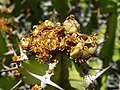 Euphorbia barnardii 03.JPG