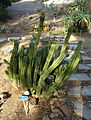 Euphorbia hamata - San Luis Obispo Botanical Garden - DSC05936.JPG
