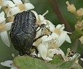 Euphoria sepulcralis P1050679a.jpg
