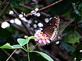 Euploea core core – Indian Common Crow - Mugilu 07.jpg