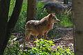 Europäischer Grauwolf (Canis lupus lupus) im Wolfcenter Barme (Dörverden) IMG 9112.jpg