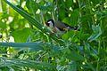 European Goldfinch (Carduelis carduelis) eating seeds of Smooth Sow Thistle (Sonchus oleraceus) (26067225674).jpg