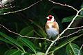 European goldfinch (carduelis carduelis).jpg