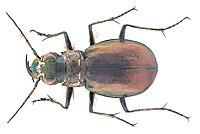 Eurymorpha cyanipes Hope, 1838 (3102494980).jpg