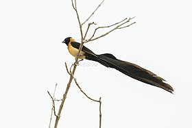 Exclamatory ( Long-tailed ) Paradise-Whydah - Gambia (32495702822).jpg