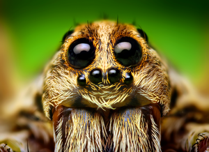 Eye Arrangement of a Hogna Wolf Spider.png