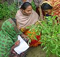 FFS Tomato study Bangladesh 2004.jpg