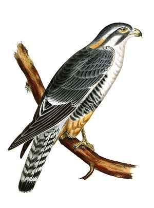 Aplomado falcon - Illustration from Pacific Railroad Surveys