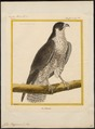Falco peregrinus - 1700-1880 - Print - Iconographia Zoologica - Special Collections University of Amsterdam - UBA01 IZ18200098.tif