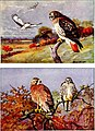 Falconry, the sport of kings (1920) (14749297691).jpg