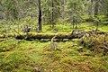 Fallen tree on swamp.jpg