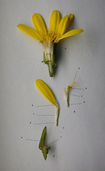 ファイル:Farfugium japonicum caput str01.JPG