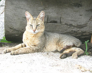 Jungle cat - A close view of a jungle cat F. c. affinis. Note the plain coat and the dark-tipped hairs.