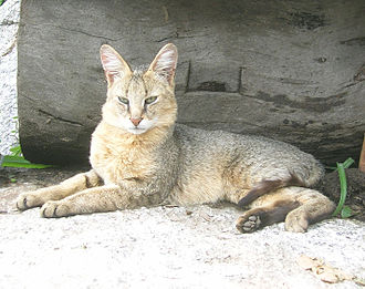 A close view of a jungle cat F. c. affinis. Note the plain coat and the dark-tipped hairs. FelisChausMunsiari2.jpg