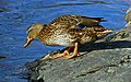 Female mallard beside lake.jpg