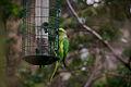 Feral Ring-necked Parakeet.jpg
