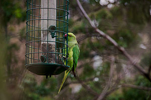 Feral parrot - Feral rose-ringed parakeet, Psittacula krameri on a bird feeder in Wimbledon, London