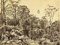Fern trees, Mount Wilson, ca. 1888 - photographer unknown (5511609634).jpg