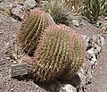 Ferocactus stainesii - Oasis Park botanical garden - Fuerteventura.jpg