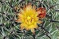Ferocactus wislizenii in bloom.jpg