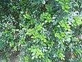 Feuillage de Murraya paniculata.jpg