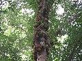 Ficus racemosa fruits at Peravoor (5).jpg