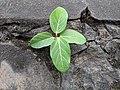 Ficus sp 9.jpg