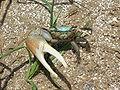 Fiddler Crab Gulf Coast.jpg