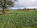 Field of turnips, St Briavels - geograph.org.uk - 286648.jpg