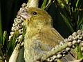Finch (5765812364).jpg