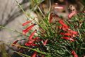 Firecracker Flower 2 Digon3.JPG