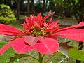 Fleur rouge mexicaine.JPG